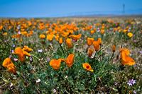 Digital photo of an orange poppy in a field of blooming poppies